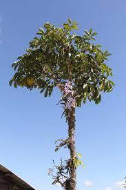 orchidée manipour 2