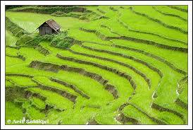 terasses riz